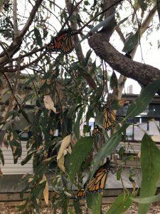 Release of Butterflies